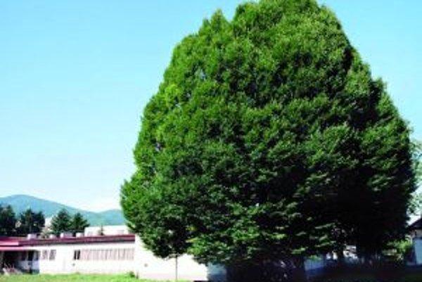 Možno práve hrab obyčajný získa vďaka hlasovaniu titul Strom roka 2012.