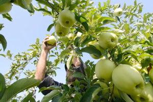 Začína sa zber jabĺk.