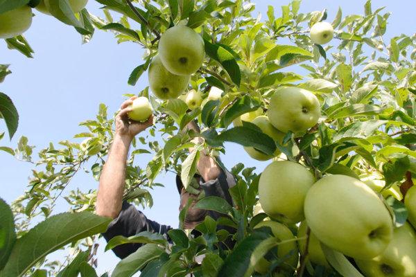Zber jabĺk - ilustračná fotografia.