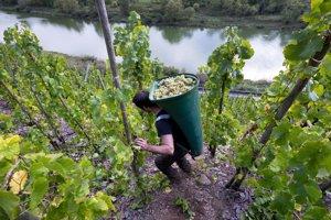 Práca vo vinohrade je náročná.