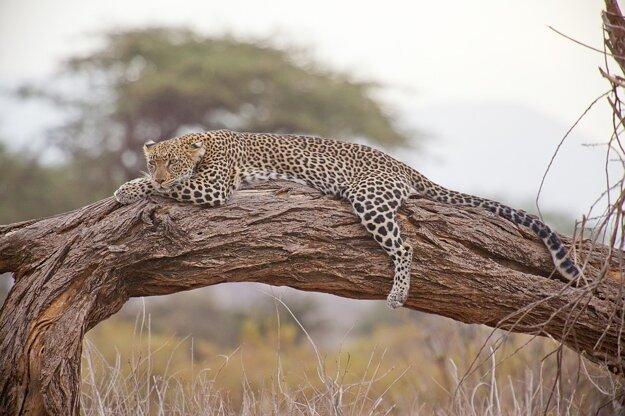 Pozorovanie divokých šeliem je na safari v Keni žiadaným dobrodružstvom.