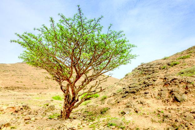 Kadidlovníkový strom