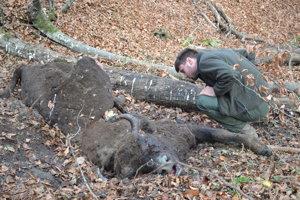 Zastrelenú zubricu našli v lesoch pri Hostoviciach.