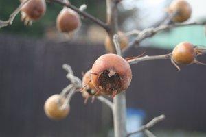 Prvá úroda na spoločnej obecnej mišpuli ich potešila. Mnohí obyvatelia prišli plody okoštovať.