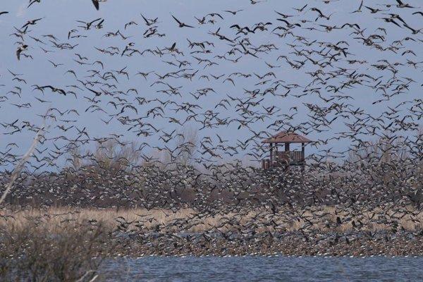 Na Senienske rybníky priletelo až 37-tisíc sibírskych husí. (ZDROJ: CHKOVIHORLAT)