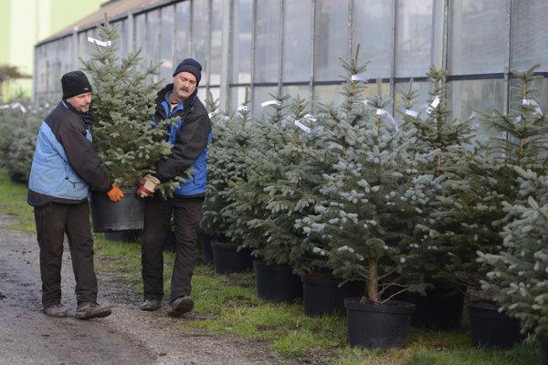 Stromčeky od Správy mestskej zelene si mohli ľudia prenajať aj tento rok.