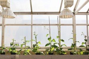 Vedci upravili rastliny tabaku, aby zefektívnili proces fotosyntézy.