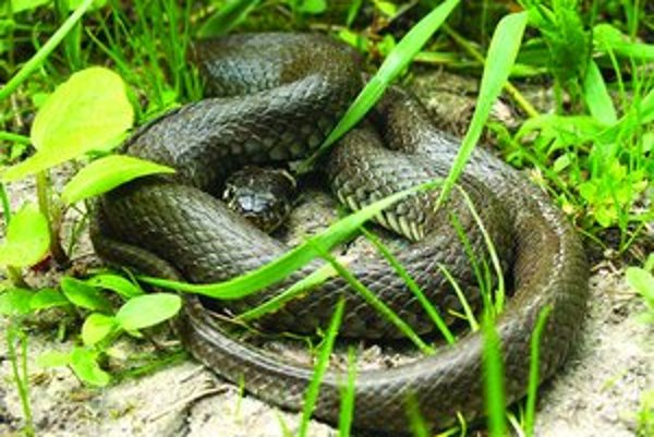 Jediné opatrenie, ktoré môže mesto urobiť, aby zabránilo približovaniu sa hadov, je kosenie lúk.