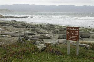 Tulene slonie obsadili turistami obľúbenú pláž neďaleko San Francisca.
