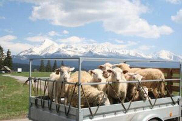 Vo Východnej je aj salaš a ovce sa pasú pod Kriváňom.