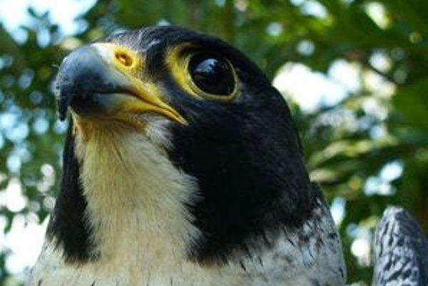 Sokol sťahovavý patrí medzi chránené vtáky európskeho významu.