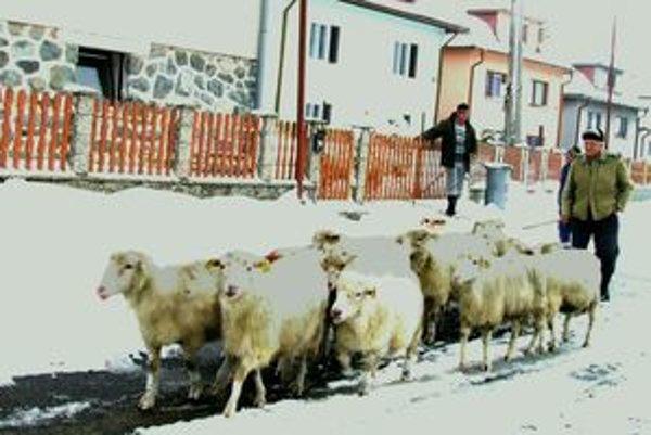 Ovečka je nezmar. Na paši, aj keď už napadal sneh, si dokáže nájsť dostatok potravy.  Von ovce budú vyháňať, až kým neprídu silné mrazy.