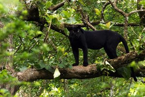 Melanistický leopard v národnom indickom parku Nagarhole.