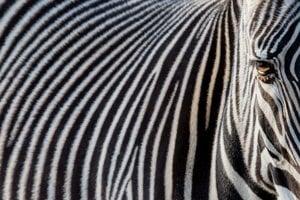 Slnečný lúč osvetluje oko zebry v zoo vo Frankurte nad Mohanom.