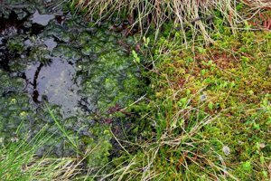 Vhodný typ machu si vyžaduje špecifické prostedie. Rašelinník rastie v močariskách, tento záber pochádza zo Šumavy.