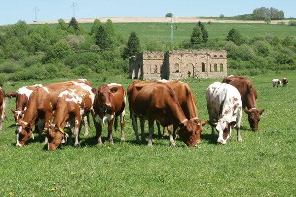 Chov hovädzieho dobytka na Orave.