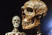 V popredí model lebky Nenadertálca. Vzadu lebka anatomicky moderného človeka. Záber je z výstavy v Prírodovedeckom múzeu v New Yorku.