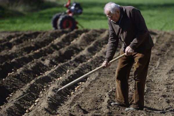 90-ročný Juraj Forgáč pri zahrabávaní zemiakov na políčku v Horovciach.