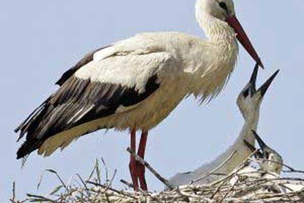 Bociany patria medzi brodivé vtáky.