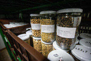 Stovky semien sa skladujú v zaváraninových pohároch.