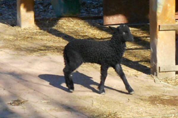 Malá ovečka sa má k svetu.