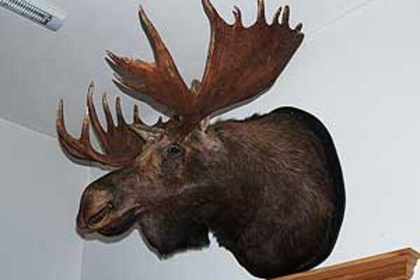 Medzi exponátmi sa nachádza aj hlava tretieho najväčšieho losa, zastreleného na Kamčatke, ktorý vážil neuveriteľné dve tony.
