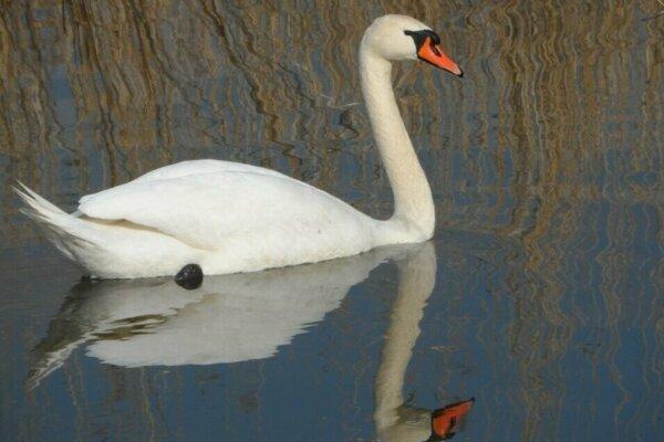 Labute sa udomácnili aj na Levických rybníkoch.