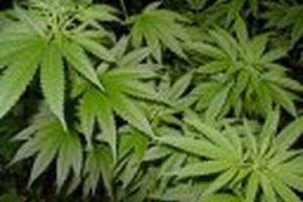 Zaistené rastliny boli zaslané na expertízu. Pravdepodobne ide o marihuanu.