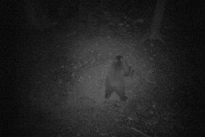 Medveď zachytený fotopascou.