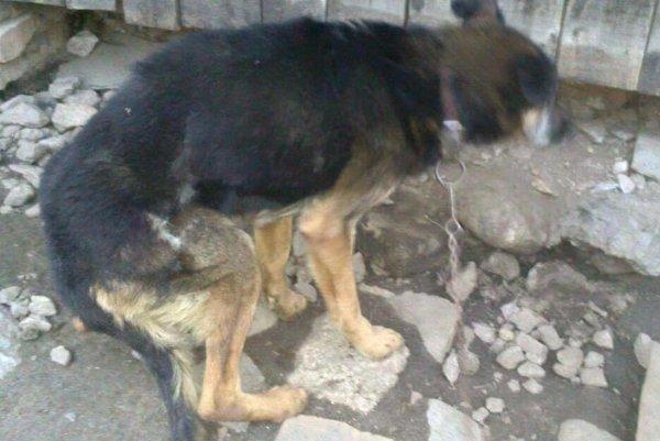 Borko prežil po smrti majiteľa dlhé týždne bez jedla a vody. Ľudia z útulku Tuláčik ho objavili v poslednej chvíli.Nevládal poriadne stáť na nohách.