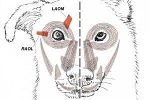 Infografika ukazuje porovnanie tváre psa (vľavo) a vlnka (vpravo). Psy majú dva špeciálne svaly navyše, ktoré im umožňujú zdvihnúť obočie vyššie.