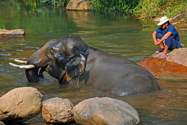 Slony sú národný symbol Thajska.