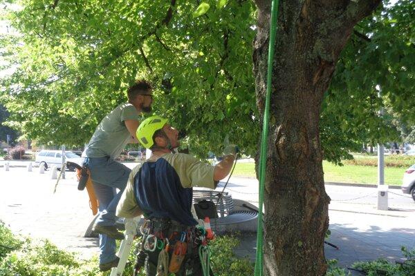Stromy v centre mesta ošetrovali odborníci dobrovoľne.