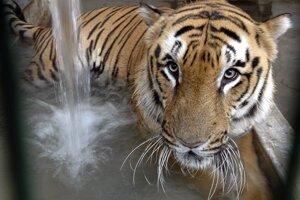 Populácia tigrov v Indii stúpla.