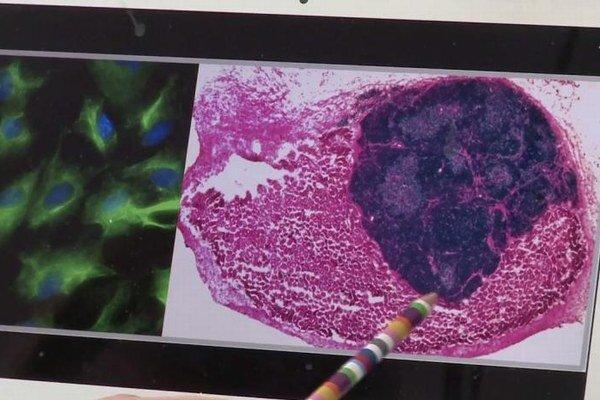 Vedci najskôr odobrali fibroblasty z myšacieho embrya. Orgán napokon vytváral lymfocyty T.