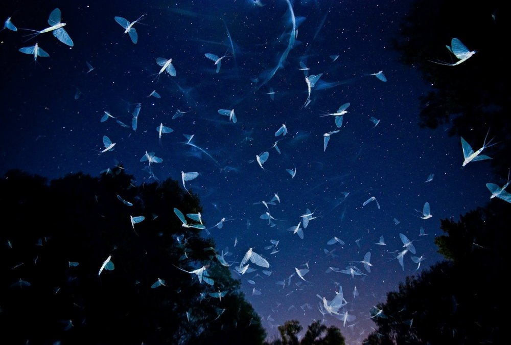 Tanec s hviezdami. Lietajúce podenky počas augustového večera nad riekou Rába.