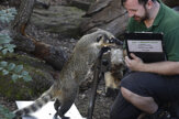 Ako odvážiť surikatu? V londýnskej zoo kontrolovali zvieratá
