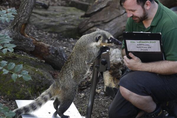 Nosáľ juhoafrický počas každoročného váženia a merania v londýnskej zoo.