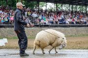 Baran (lat. Ovis aries) počas prehliadky v rámci 46. medzinárodnej poľnohospodárskej a potravinárskej výstavy a 14. ročníka Národnej výstavy hospodárskych zvierat v priestoroch výstaviska Agrokomplex Nitra.