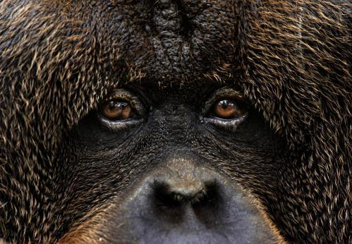 orangutan-2.jpeg