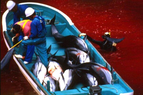 Potápač v zakrvavených vodách pomáha rybárom z mestečka Taidži pri nakladaní delfínov do člna. Archívna snímka z októbra 2003.