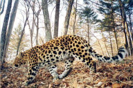 leopardica6.jpg