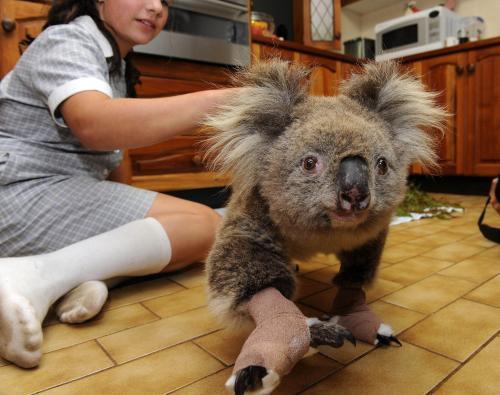 ohorena-koala_tasrap.jpg