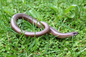 Slepúch sa podobá na hada, ale je to jašter. Dokáže odhodiť chvostík.