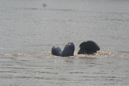delfiny_mekong4.jpg
