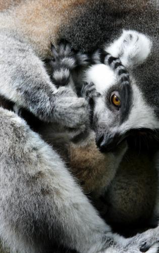 lemury_3_ap.jpg