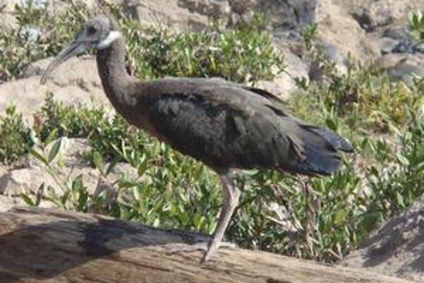 V údolí Mekongu v odľahlej provincii Stung Treng na severovýchode Kambodže objavili jeden  z najohrozenejších vtáčích druhov - tantalus obojkový.