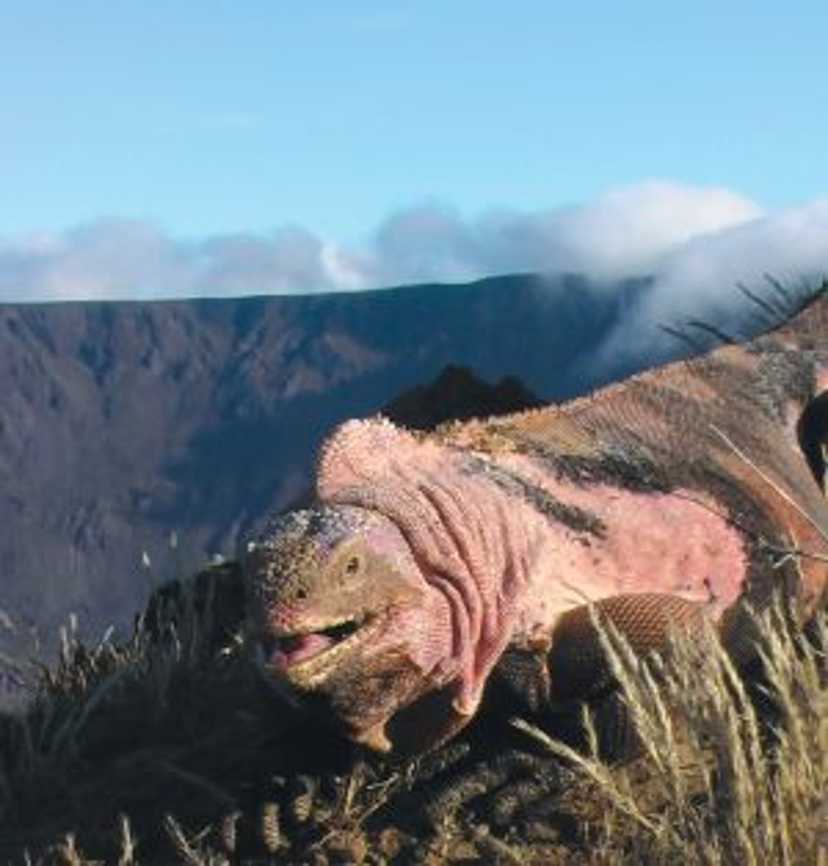 Ružový leguán na okraji krátera galapágskej sopky Wolf v nadmorskej výške  približne 1700 metrov. db77a79741d