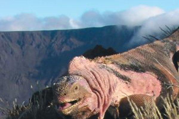 Ružový leguán na okraji krátera galapágskej sopky Wolf v nadmorskej výške približne 1700 metrov.