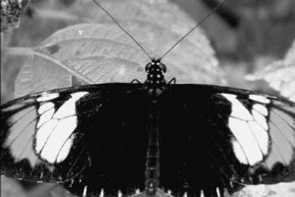 Motýľ Heliconius heurippa významne pomohol preskúmať prekvapivý vznik nového druhu hybridizáciou dvoch starých.